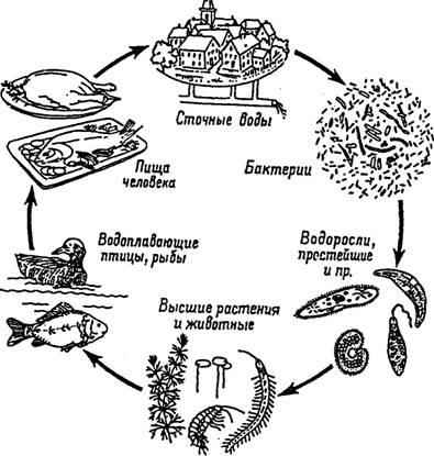 Нарисуй схему круговорота веществ в сообществе водоема