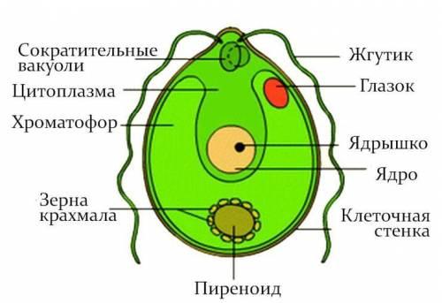 Вчем сходство и различие амебы и хламидомонады?