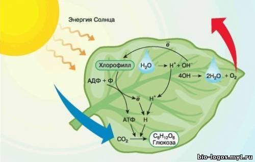 Фотосинтез как процесс трансформации энергии света в энергию связей