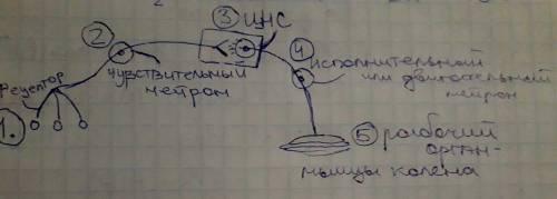 Сделайте рисунок. схема рефлекторной дуги коленного рефлекса