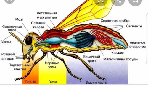 15 7 класс таблица по пунктам внутреннее строение членичтоногих 1.ракообразные 2.пауки 3. насекомы