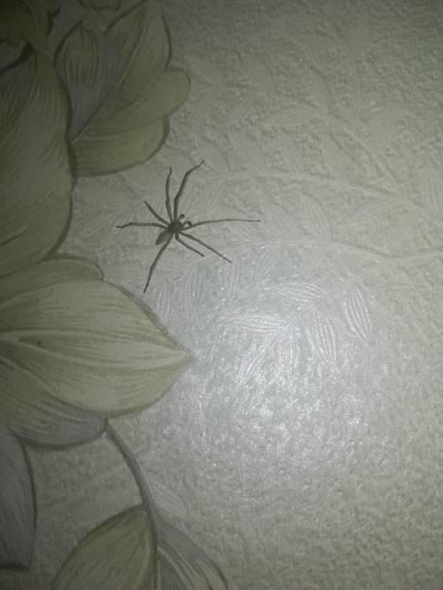 Кто-то знает, что это за вид паука? Он кажется безобидный, сидит себе на стеночке никого не трогает